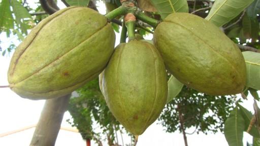 Malabar chestnut (Pachira aquatica)