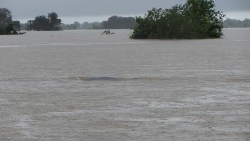 Irrawaddy dolphin (Orcaella brevirostris)