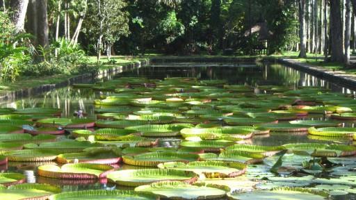 Queen Victoria's water lily (Victoria amazonica)