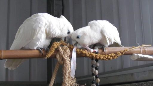 Solomons cockatoo (Cacatua ducorpsii)