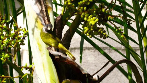 Collared finchbill (Spizixos semitorques)